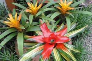 greenhouse_photo_gallery_bromeliads