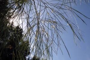 aus_nz_acacia_stenophylla