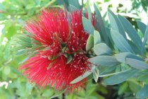 aus_nz_callistemon_little_john