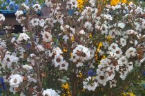 aus_nz_leptospermum_scoparium_white