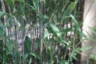 bamboo_fargesia_nitida