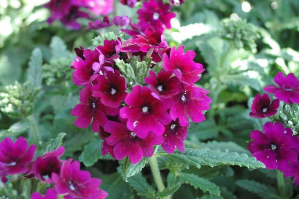 Garden Verbena. Bedding_spring_summer_sun_verbena.  Bedding_spring_summer_sun_verbena