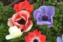 bulb_fall_anemone
