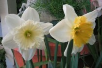 bulb_fall_daffodil_ice_follies