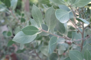 calif_native_arctostaphylos_dr_hurd