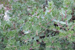 calif_native_arctostaphylos_emerald_carpet