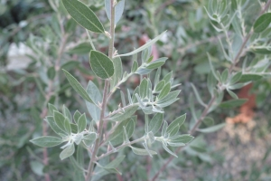 calif_native_arctostaphylos_sentinel