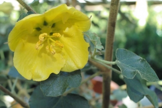 calif_native_fremontodendron