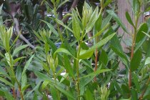 calif_native_myrica_californica