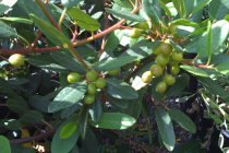 calif_native_rhamnus_californica