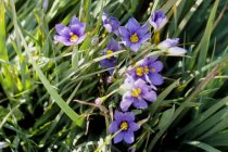 calif_native_sisyrinchium