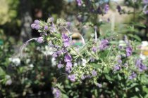 calif_native_trichostemma_hybrid