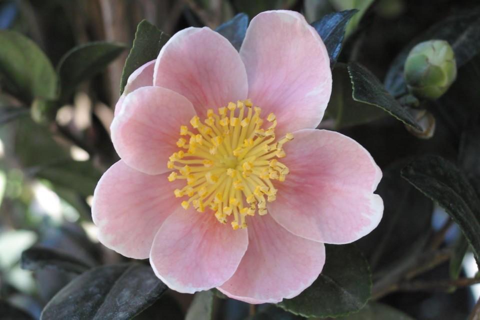Pink yuletide sperling nursery gift shop for Camellia sasanqua