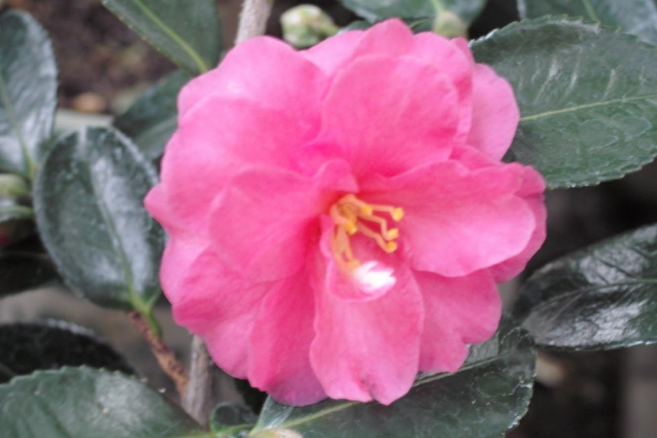 Shishi gashira sperling nursery gift shop for Camelia sasanqua