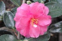 camellia_sasanqua_shishi_gashira