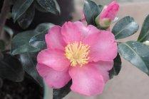camellia_sasanqua_kanjiro