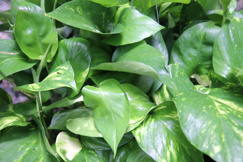 Pothos sperling nursery gift shop - House plants that grow in low light ...