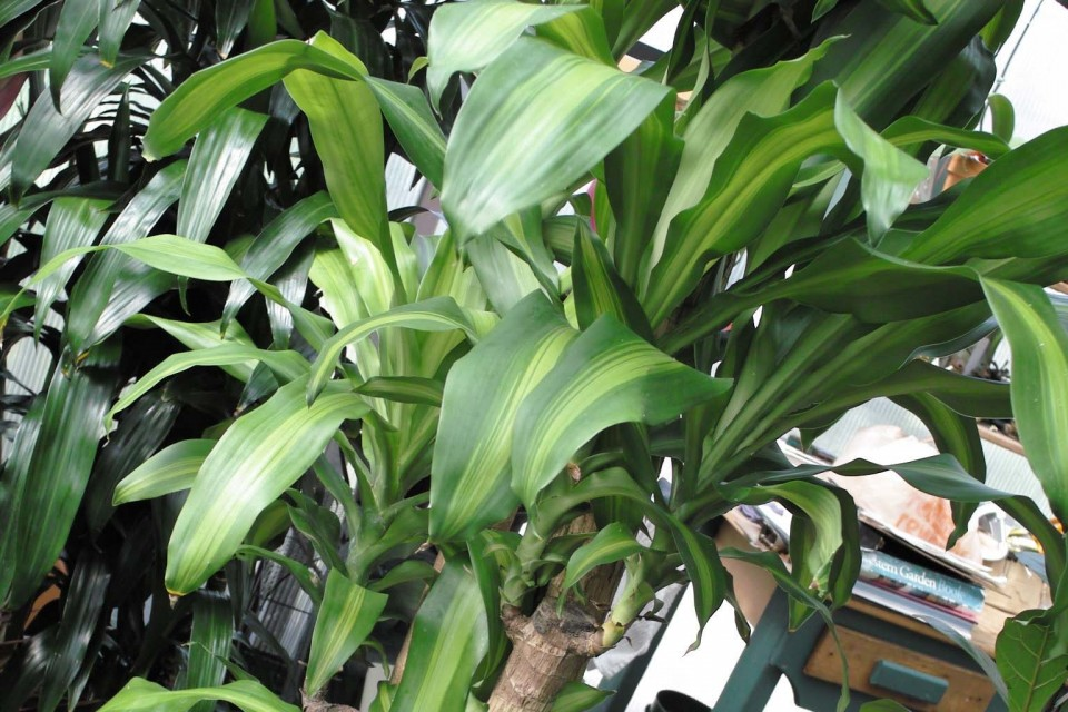 Dracaena massangeana sperling nursery gift shop - Big leaf indoor plants ...
