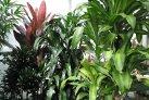 tall_dracaena_varieties