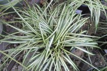 ornamental_grasses_carex_evergold