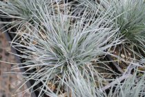 ornamental_grasses_festuca_2