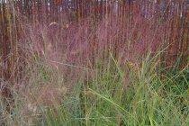 ornamental_grasses_muhlenbergia_capillares