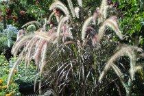ornamental_grasses_pennisetum_rubrum