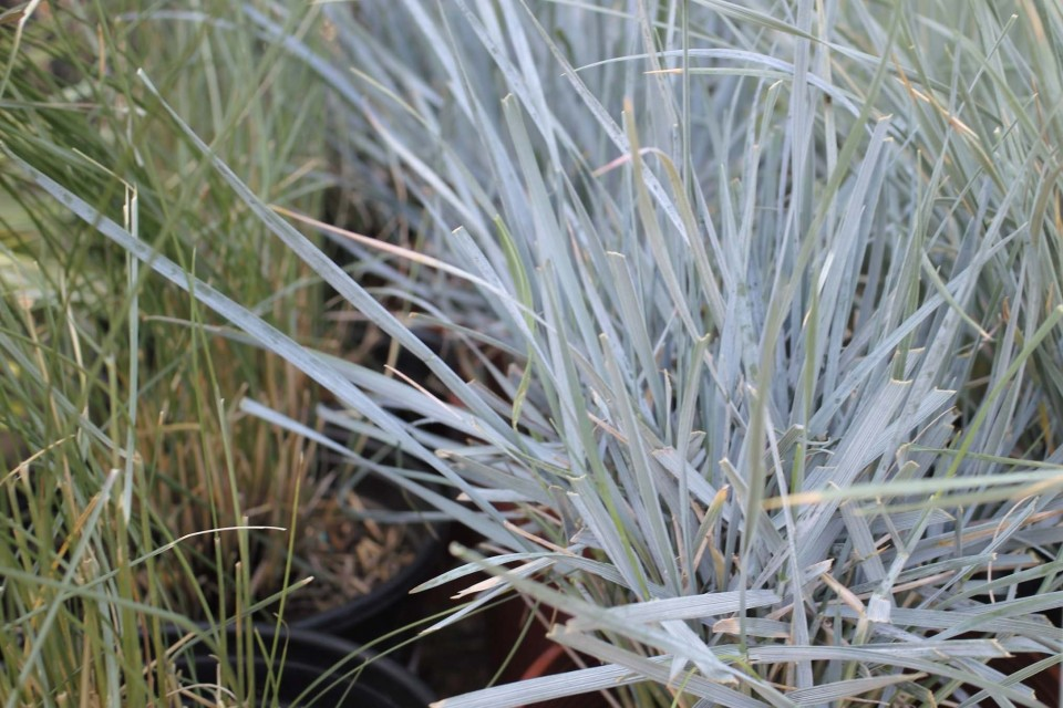 Elymus sperling nursery gift shop for Spiky ornamental grass