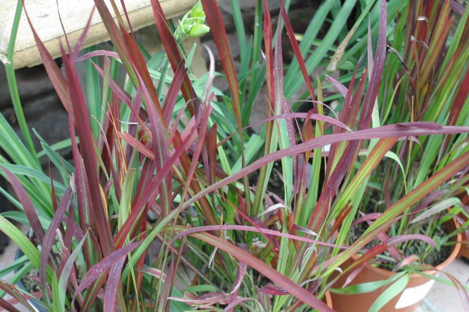Imperata cylindrica rubra sperling nursery gift shop for Tall red grass