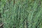 ornamental_grasses_chondropetalum_elephantinum