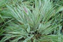 ornamental_grasses_hakonechloa_fubuki