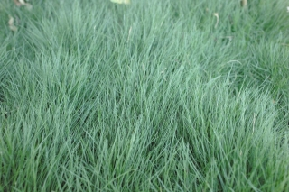 ground_cover_korean_grass