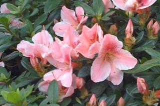 azalea_sun_pink_lace