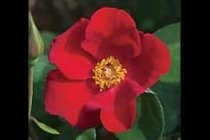 rose_climber_altissimo