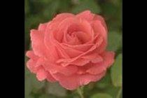 rose_climber_america