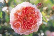 rose_climber_colette