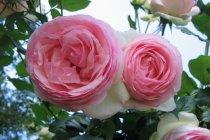 rose_climber_eden