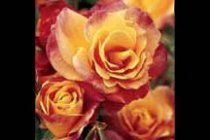 rose_climber_josephs_coat