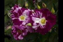 rose_climber_purple_splash