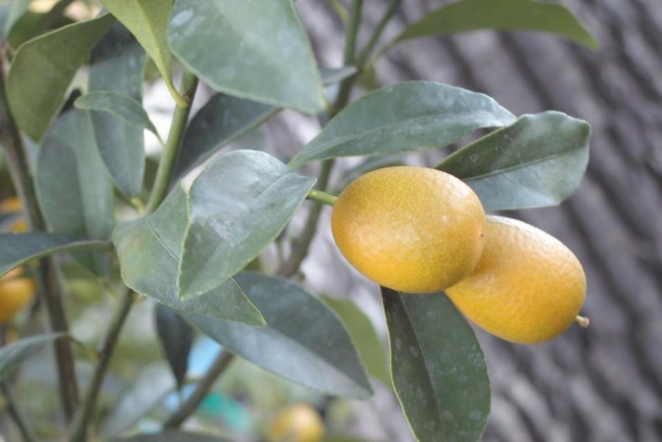 Nagami kumquat sperling nursery gift shop for Plante kumquat