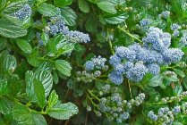 calif_native_ceanothus_yankee_point