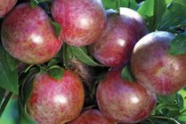 fruit_pluot_dapple_dandy