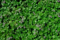 ground_cover_corsican_mint