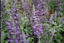 perennials_hummingbird_salvia_mystic_spires