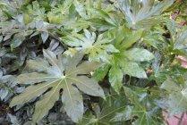shade_foliage_fatsia_japonica