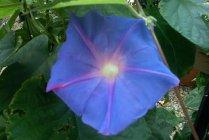 vines_blue_ipomoea_acuminata