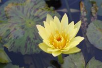 water_floating_tropical_lily_yellow
