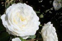 rose_climber_cloud_10