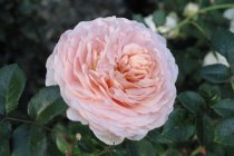 english_rose_abraham_darby