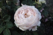english_rose_ambridge_rose
